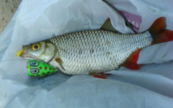 на что клюет рыба уклейка